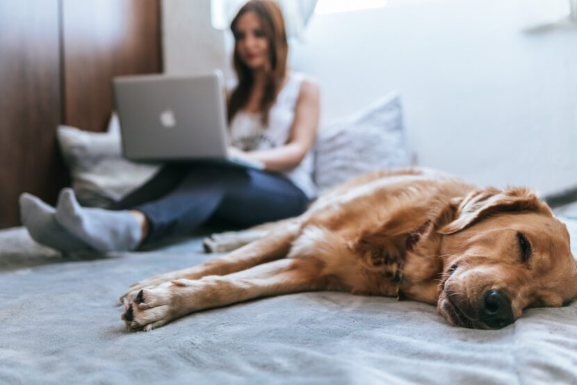 White woman sitting on bed typing on Apple laptop next to a sleeping Golden Retriever dog
